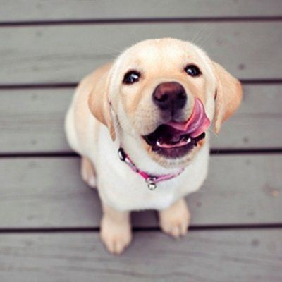 7 Things We Love about Labradors ...