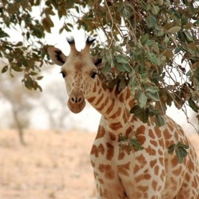 7 Interesting and Fun Facts about Giraffes ...