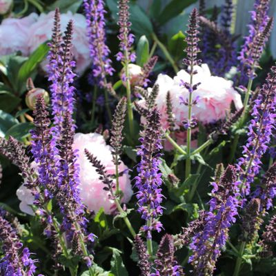 5 Facts on Salvia You Did Not Know ...