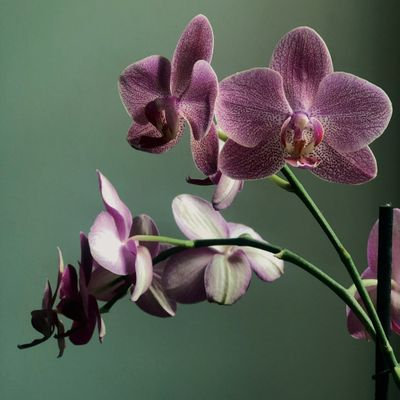 7 Tips for Caring for Phalaenopsis Orchids ...
